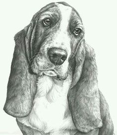 Bassett hound dog portrait picture, open edition print from a graphite pencil drawing by artist Mike Sibley Animal Drawings, Art Drawings, Sketches Of Animals, Drawing Animals, Horse Drawings, Basset Hound Dog, Beagle Puppies, Beagles, Doggies