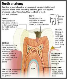 Dentaltown - Dental Anatomy #ToothAnatomy #DentalAnatomy