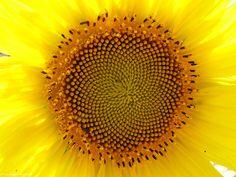 Photo macro fleur Tournesol (Helianthus annuus)