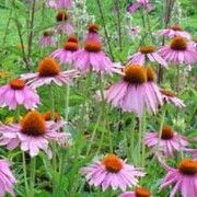 Botanical name: Echinacea purpurea    Other names: Black samson, Hedgehog cone flower, Purple daisy, Coneflower Click image to learn more, add to your lists and get care advice reminders each month.