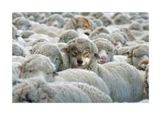 Funny pictures about Suspicious sheep. Oh, and cool pics about Suspicious sheep. Also, Suspicious sheep photos. Funny Animal Memes, Funny Animal Pictures, Funny Photos, Funny Animals, Cute Animals, Funny Memes, Hilarious, Funny Sayings, Wolf Pictures