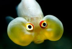 Weird fish in the deep sea---Weird fish in the deep sea Creepy Animals, Funny Animals, Cute Animals, Weird Fish, Cool Fish, Bubble Eye Goldfish, Bubble Fish, Bubble Yum, Animal Pictures
