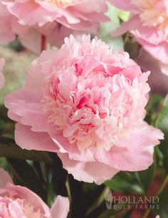 """~Eden's Perfume Peony -- heavenly scented large pink blooms, considered to be one of the most fragrant peonies, with a Damask rose fragrance. The large double blooms can be up to 6-7"""" across and are covered with frilly pink petals. it's structure is ideal too, as it is a compact grower that has strong stems perfect for cutting! Perennial in Zones 4 - 8. bulb size 3-5 eyes."""
