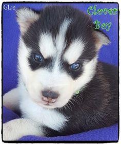 31 Best Puppys Images On Pinterest Huskies Puppies Husky Puppies