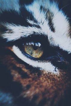 In the eyes of a tiger