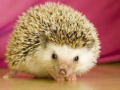 Hedgehog (: