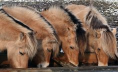 Norwegian Fjord Horses! Let me have all of their fuzzy cuteness!