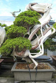shimpaku-bonsai