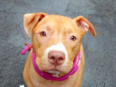 GONE - 03/13/15 --- TO BE DESTROYED - 03/10/15 TO BE DESTROYED 03/07/15  Manhattan Center-P  My name is L.A.. My Animal ID # is A1028976. I am a female tan and white pit bull mix. The shelter thinks I am about 1 YEAR 7 MONTHS old.  I came in the shelter as a OWNER SUR on 02/27/2015 from NY 10456, owner surrender reason stated was PET HEALTH.    https://www.facebook.com/photo.php?fbid=971935019486044