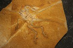"""""""The Eichstätt Specimen"""" of Archaeopteryx lithographica at the Juramuseum Eichstätt"""