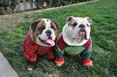 christmas bulldogs by lifeisbananas, via Flickr