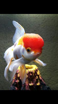 Beautiful Fish, Animals Beautiful, Going For Gold, Aquarium Fish, Goldfish, Betta, Art Lessons, Nom Nom, Creatures