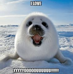 A happy baby Harp Seal at Iles de la Madeleine in East Canada. Harp seal pup playing on ice. Photo by Keren Su. Baby Harp Seal, Baby Seal, Harp Seal Pup, Cute Baby Animals, Animals And Pets, Funny Animals, Smiling Animals, Happy Animals, Arctic Animals