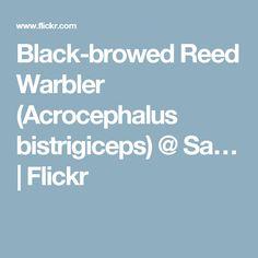 Black-browed Reed Warbler (Acrocephalus bistrigiceps) @ Sa…   Flickr