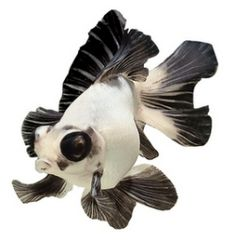 Panda moor is a fancy goldfish with a characteristic black-and-white color pattern and protruding eyes.