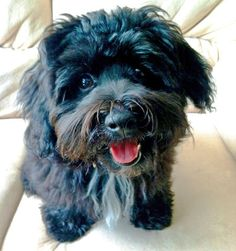 via the daily puppy  Puppy Breed: Havanese  Bodie is a Havanese puppy that was born in Indiana and now lives in Kentucky. He loves to cuddle, lick every person he comes across, pick up anything he can find outside and play with his favorite stuffed dog. He will do anything for a treat - which has been great for his puppy obediences classes and for teaching him new tricks! He is so calm, sweet, and smart and has been the greatest addition in our lives!