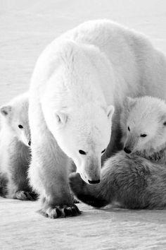 #polarbear #cub #family #white #animals #cute