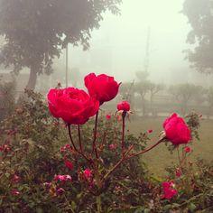 Roses in winter mist