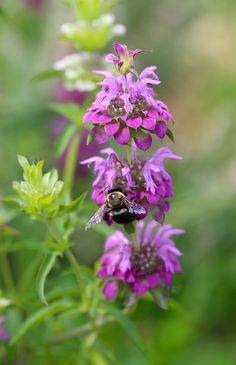 Lemon bergamot (Monarda citriodora) -- Chestnut School of Herbal Medicine