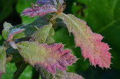 dewy oak