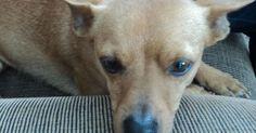 Cães idosos precisam de cuidados redobrados e visitas ao veterinário