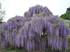 Japanese wisteria, a little bit smaller than the Chinese vine, but will still grow to 30' unchecked.