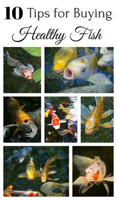 Learn how to choose healthy fish before adding them to your pond.