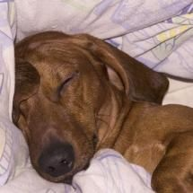Dachshund Sleeping with Blanket Wallpaper Dachshund Rescue, Mini Dachshund, I Love Dogs, Puppy Love, Cute Dogs, Sleepy Dogs, Miniature Dachshunds, Dogs And Puppies, Doggies