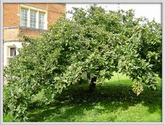 medlar tree | medlar tree | Flickr - Photo Sharing! Somerville College, Fruit Trees, Herbs, Garden, Plants, Garten, Herb, Gardens, Planters
