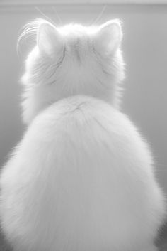 """I'm not turnin' around till I smell the salmon I asked fur in my dish."" kitty cat white fluffy feline gato cat humor"