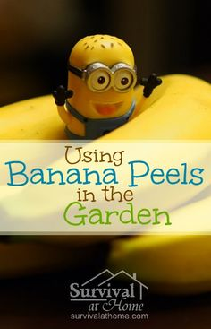 Using Banana Peels in the Garden » Using banana peels in the garden provides your vegetables with loads of nutrients that plants need to thrive, and it acts as a pest repellent, too!
