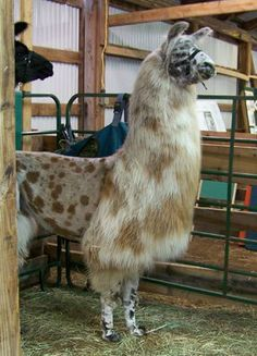 "Here is what llamas look like right after they get a ""summer haircut"""