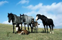 A small band of Nokota horses, showing several common colors of the breed