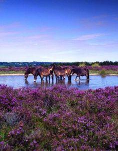 Ponies on Exmoor national Park