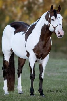 "American Paint Horse Stallion ""Max Tardy"" Pretty yes but I Would Never Buy or Breed to A Horse with a Blue Eye. Most Beautiful Animals, Beautiful Horses, Beautiful Creatures, Pretty Horses, Horse Love, Cheval Pie, Animals And Pets, Cute Animals, American Paint Horse"