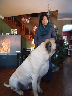 """The breed is commonly referred to as the """"Mastiff"""". Also known as the English Mastiff this giant dog breed gets known for its splendid, good natu Brindle Mastiff, Mastiff Breeds, Mastiff Dogs, Old English Mastiffs, English Mastiff Puppies, Giant Dog Breeds, Giant Dogs, American Mastiff, Mastiff Puppies For Sale"""
