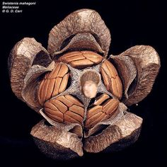 Swietenia mahogani, commonly known as the West Indies Mahogany, is a species of … - Modern Planting Seeds, Planting Flowers, Weird Fruit, Natural Structures, Fotografia Macro, Fruit Seeds, Seed Pods, Patterns In Nature, Botanical Illustration