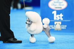 """2006: Toy Poodle (Smash JP Win A Victory, a.k.a. """"Vikki"""").  My all time favorite dog from the day I watched her win Westminster she was showing up all the big dog and not a hair or nail out of place. :)"""
