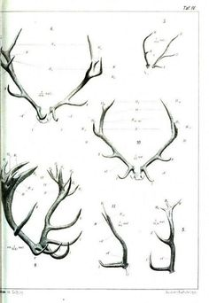 Think North ~ Antlers, Comparative Anatomy from Gegenbaurs morphologisches Jahrbuch, 1903 (via theinspiredwoman) Drawing Techniques, Drawing Tips, Drawing Reference, Deer Drawing, Illustration Art, Illustrations, Character Design References, Art Tips, Animal Drawings