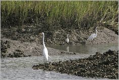 Egrets fishing on any coastal island across the marsh - South Carolina