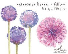 Aquarelle Clipart, Clipart fleur, Allium, aquarelles fleurs, aquarelle Clipart