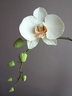 Gum paste orchid. This one is beautiful. A wisp of this across the white cake would be elegant and perfect.