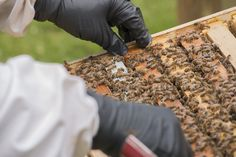 If you're after the most fresh and delicious honey, you must be willing to work for it!  Luckily for you, the beekeepers at the Inn At Honey Run do most of the work for you.  It's up to you to enjoy!