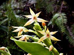 Maxillaria umbratilis