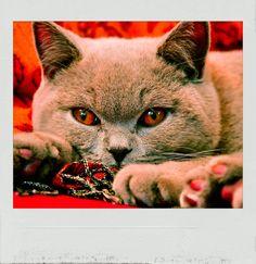 The #British #Shorthair. #PolaroidFx #Polaroid #Animals #Pets #Kitty #Cats #Domestic #Britain #UK #Mammals