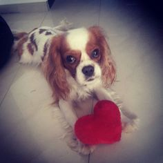 Happy saturday to all of you,my dear friends❤❤❤#magnetcavalier #magnet #dog #dogsinstagram #cavalierstagram #cavaliersofinstagram #cavalierkingcharlesspaniel #kavalirek #kavalirkingcharlesspanel #puppylove #lovedogs #loveisintheair
