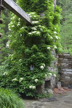 petiolaris climbing on the ruin wall has white lacecap flowers - Linda Broughman via Eva onto Gardening Climbing Hydrangea, Climbing Flowers, Climbing Vines, Landscape Design, Garden Design, Woodland Garden, White Gardens, Plantar, Garden Spaces