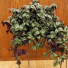 TRADESCANTIA (wandering jew):  Trailing stems that change direction slightly at each node.  Grow in mixed baskets, hanging baskets or as a ground-cover.  Variegated and purple-leaf types need bright light to maintain color.  medium to bright light; moderately dry soil.