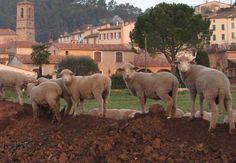 Sheep in Les Arcs-sur-Argens