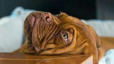 Dogue de Bordeaux -French Mastiff